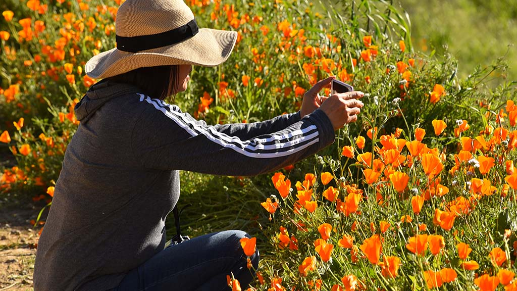 California poppies are the focus of thousands of visitors to Lake Elsinore.