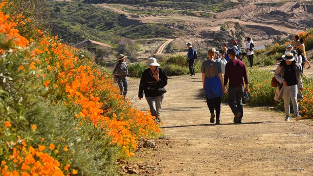 Hillside blooming with poppies attracts hikers in Lake Elsinore.