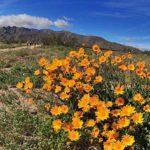 Anza-Borrego Desert wildflowers near end of DiGirorgio Road north of Borrego Springs.