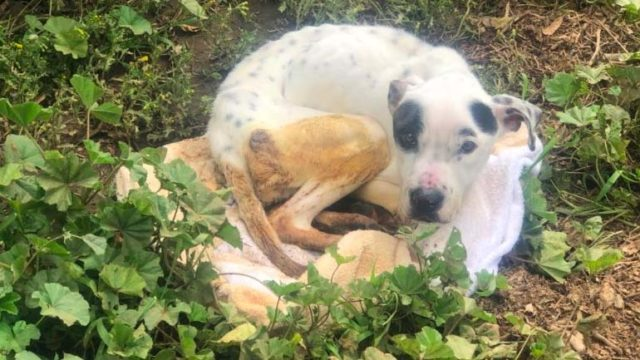 This emaciated dog was brought to the San Diego Humane Society's Escondido campus.