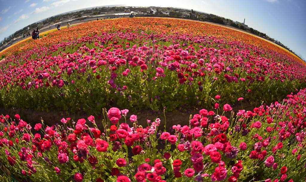 The Flowers Fields at Carlsbad Ranch features 13 colors of ranunculus plus about five acres devoted to other specialty flowers.