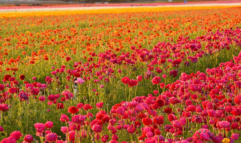 About 800 million stems of flowers are harvested each year to be sold nationally and internationally from The Flower Fields.