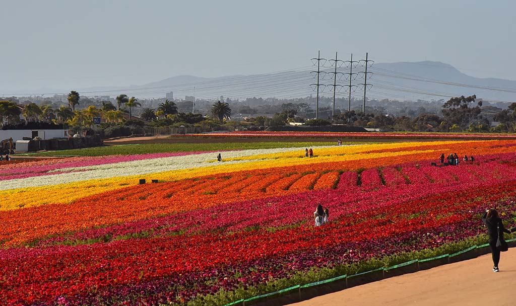 Abundant rain has made the ranunculus blooms bigger and has cut watering costs for The Flower Fields.
