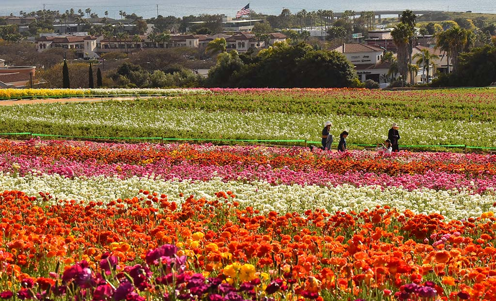 The planting process is staggered in the fall to allow for a long-lasting bloom from March to May.