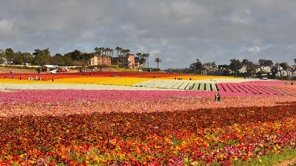 The Flower Fields offers fresh cut flowers and bulbs for future customer plantings.