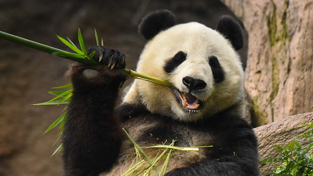 Bai Yun chomps on bamboo for breakfast in its enclosure at the San Diego Zoo. Bai Yun will return to China at the end of April.