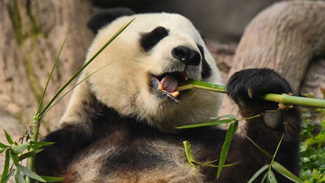 Bai Yun chomps on bamboo for breakfast in its enclosure at the San Diego Zoo. Visitors can see the pandas until April 27.