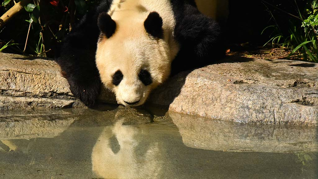 Bai Yun gets a drink of water after eating food biscuits at her enclosure at the San Diego Zoo.