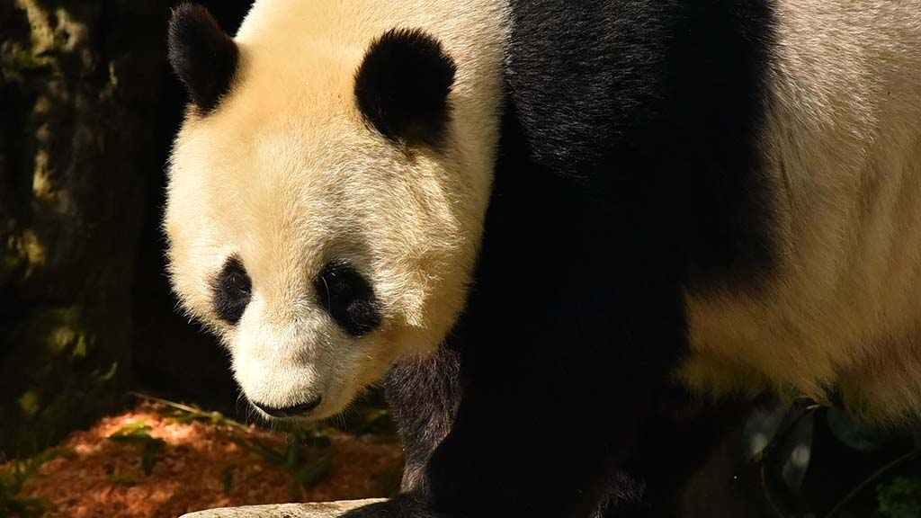 Twenty-seven-year-old Bai Yun and her 6-year-old son Xio Liwu will end its residence at the San Diego Zoo at the end of April.