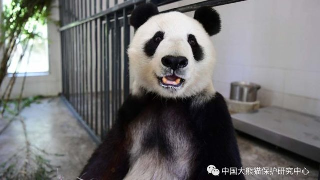 Bai-Yun, shown at southwest China's Sichuan Province Giant Panda Research Center. Photo via center