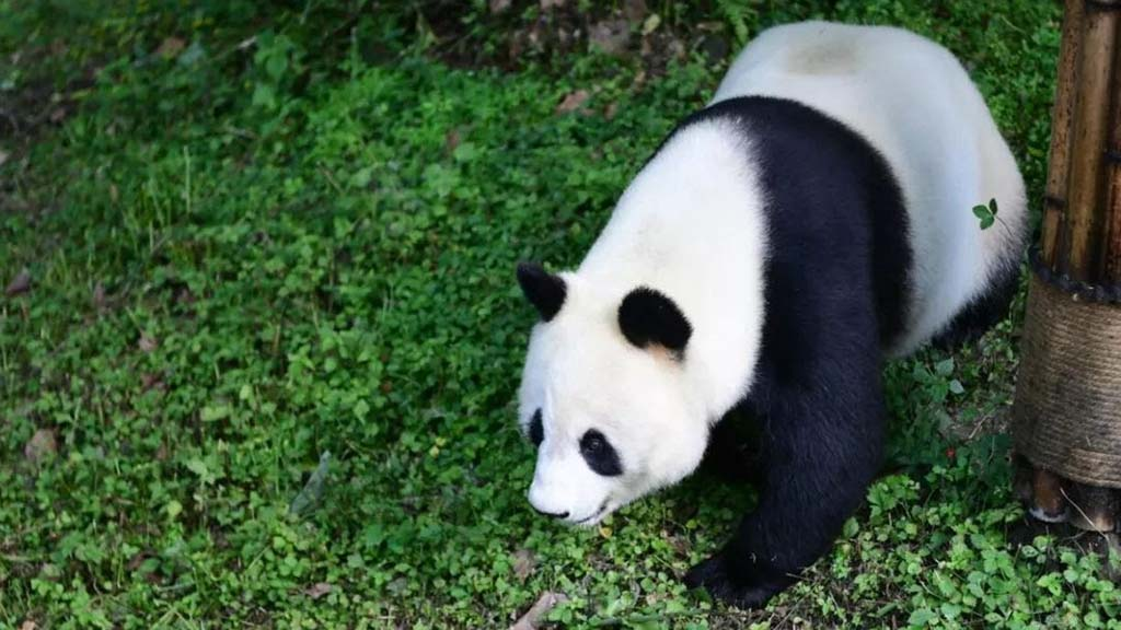 Bai-Yun explores enclosure after return to China.