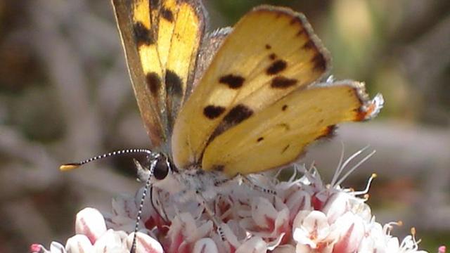 Hermes copper butterfly.