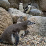 New penguin chicks at the San Diego Zoo