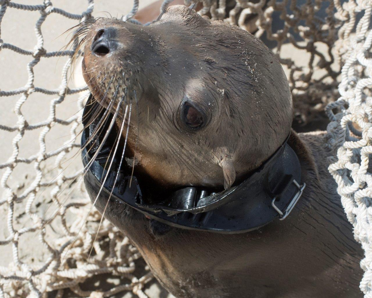 SeaWorld Saves Sea Lion Pup Found with Diver's Mask on Neck