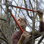 Alan Haight, 62, prunes apple trees at Riverhill Farm in Nevada City