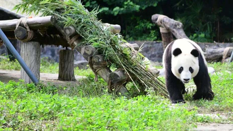 Xiao Liwu, born to Bai Yun at the San Diego Zoo, explores his new home in southwest China.
