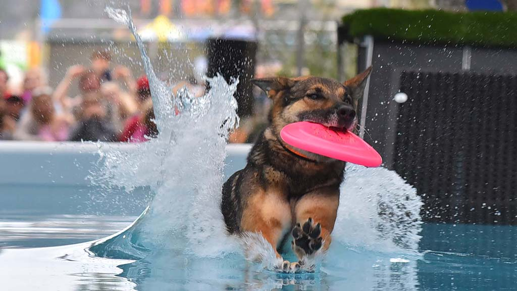 Vulcha, a German Shepherd, catches a frisbee before a splashdown.