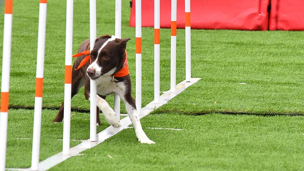 Agility displays along with Frisbee catching and diving are part of the Extreme Dog show at the San Diego County Fair.