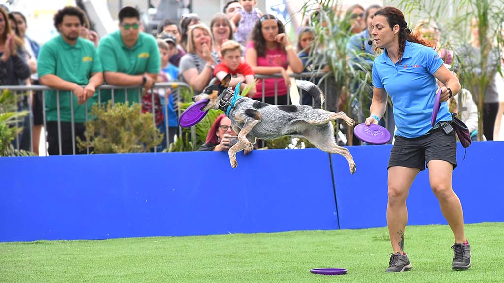 Freestyle frisbee is one of the acts in the Extreme Dog show at the San Diego County Fair.