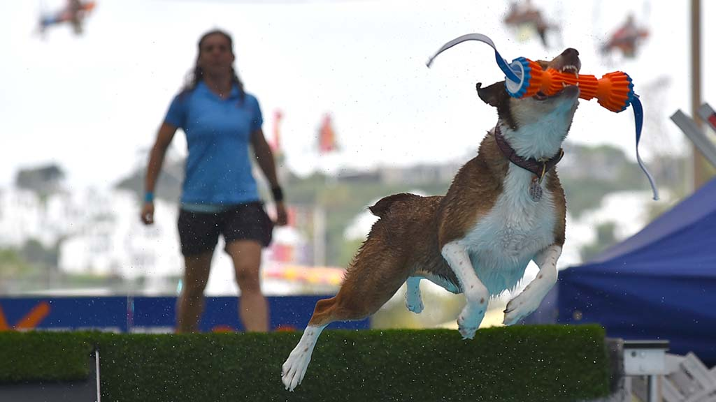 A dog grabs a toy midair at the Extreme Dog show at the San Diego County Fair.