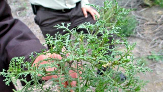Ward's weed