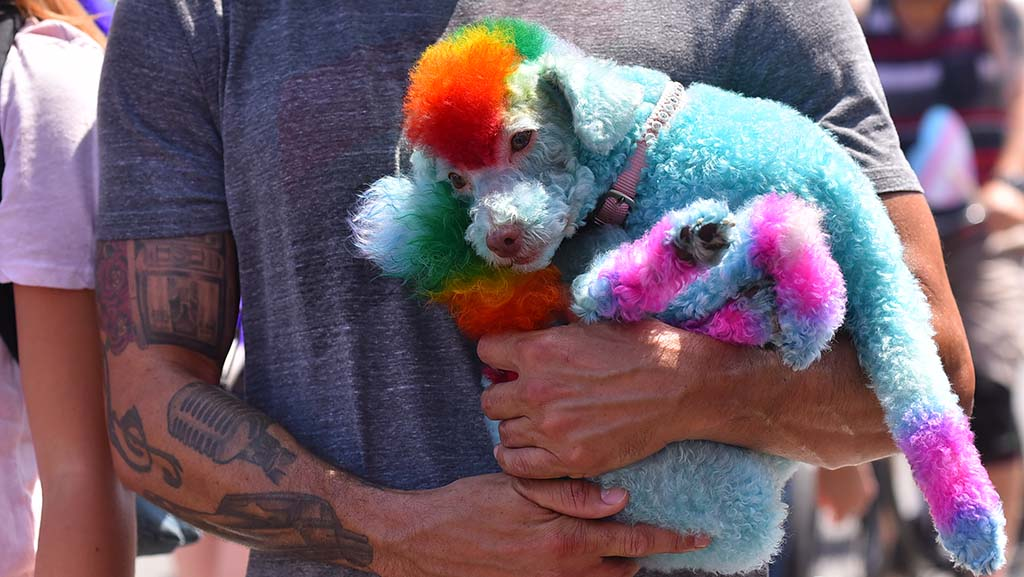 A poodle got a dye job for the parade but gets a free ride for at least part of the parade.