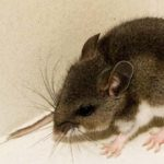 Deer mouse of the kind found with hantavirus.