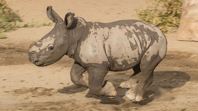 What's More Fun Than Playing in Mud? Watching a Baby Rhino Play in