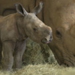 Rhino mother and calf at the San Diego Zoo Safari Park