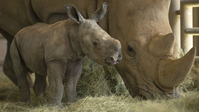 Rhino mother and calf at the San Diego Zoo Safari Park