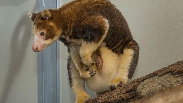 Endangered Matschie's Tree Kangaroo Joey Born at San Diego ...