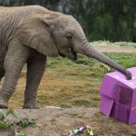 "Elephant Mkhaya, nicknamed ""Kaia,"" digs into birthday treat box at San Diego Zoo Safari Park."