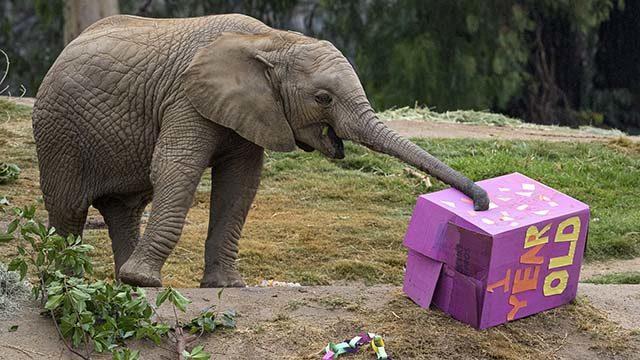 """Elephant Mkhaya, nicknamed """"Kaia,""""  digs into birthday treat box at San Diego Zoo Safari Park."""
