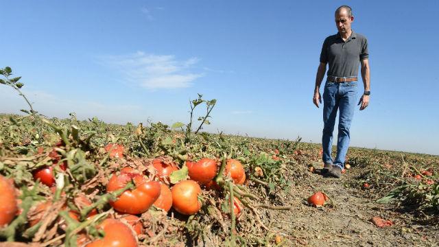 Καλιφόρνια Οικογένειες που πεινούν, Ενώ το ένα Τρίτο του Κράτους Καλλιέργειες Σαπίζουν στα Χωράφια