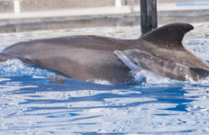 Bottlenose dolphin and calf.