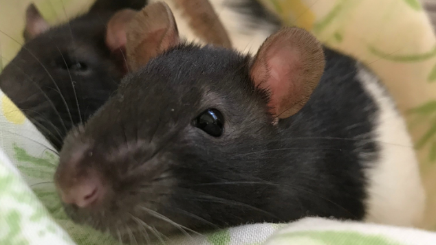 140 Rats Given Up by Owner Now Available for Adoption Via Humane Society