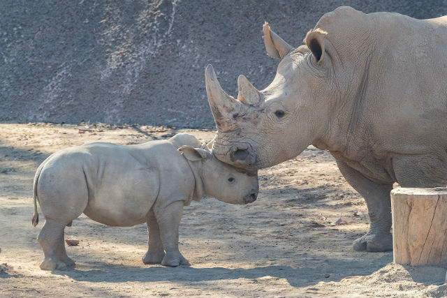 Edward, a 10-week-old southern white rhino calf at the San Diego Zoo Safari Park, interacts with Helene, an adult female rhino