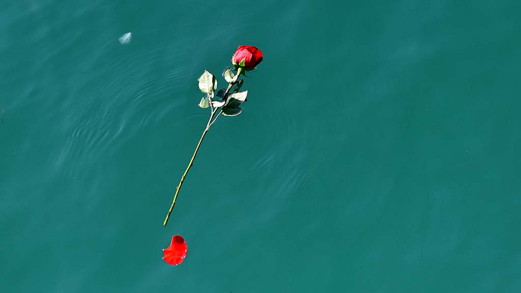 A rose from the paddle out tribute to ocean scientist Walter Munk floats after the ceremony.