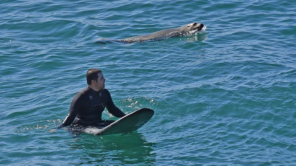A surfer south of Scripps Pier is joined by a sea lion after the tribute to Walter Munk.