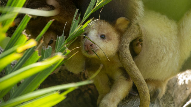 Matschie's tree kangaroo joey emerges from his mother's pouch