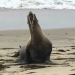 A Sea Lion suffering from domoic acid poisoning