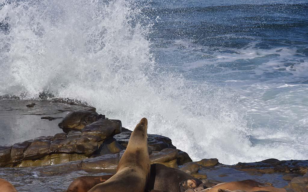 Sea lions lie along the coast as king tide waves slam into the coast in La Jolla.