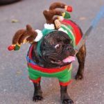 A miniature bulldog rocked antlers and sweater in the 12th annual Gaslamp Holiday Pet Parade.