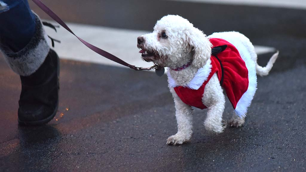 Dogs as well as spectators were dressed in holiday attire.