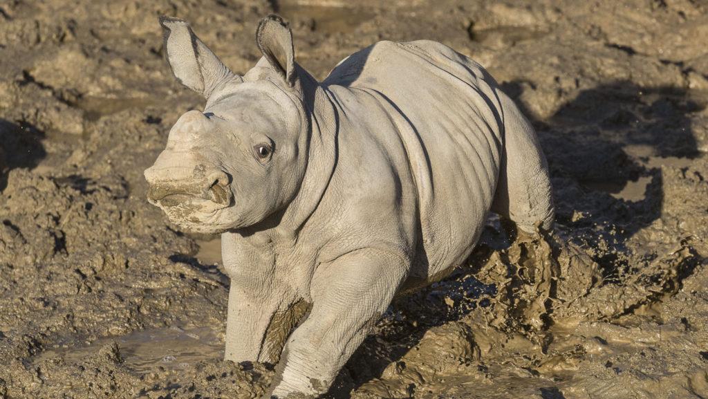 Mit dem Namen des Safari-Park das Neue Kalb, das Südliche Weiße Nashörner Haben Jetzt eine Zukunft