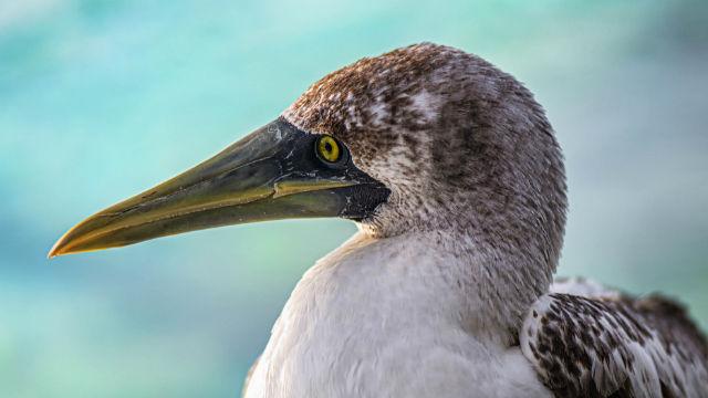 SeaWorld Animal Care Personal Version Gerettet Blue-Footed Booby Zurück In Die Wilden