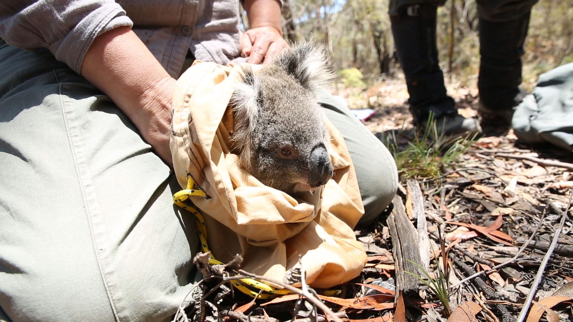 Το San Diego Zoo Ερευνητική Ομάδα στην Αυστραλία Διασώζει τα Κοάλα από Πυρκαγιά