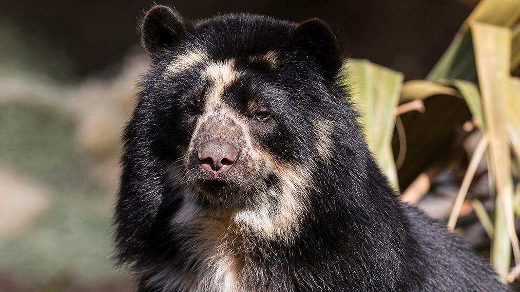 Το San Diego Zoo, Ανακοινώνει Τη Γέννηση Των Άνδεων Αρκούδα Cub