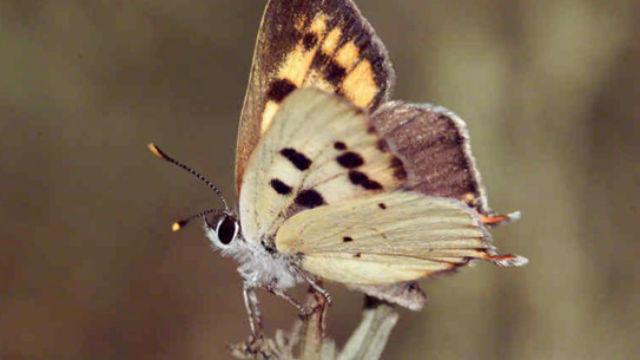 Butterfly Native San Diego County, Vorgeschlagen für Liste Bedrohter Arten