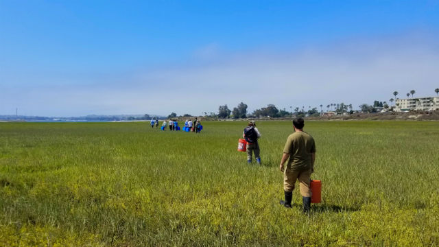 Endangered Ridgways rails released in Mission Bay